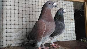 posta-güvercini-özellikleri-cahil.co